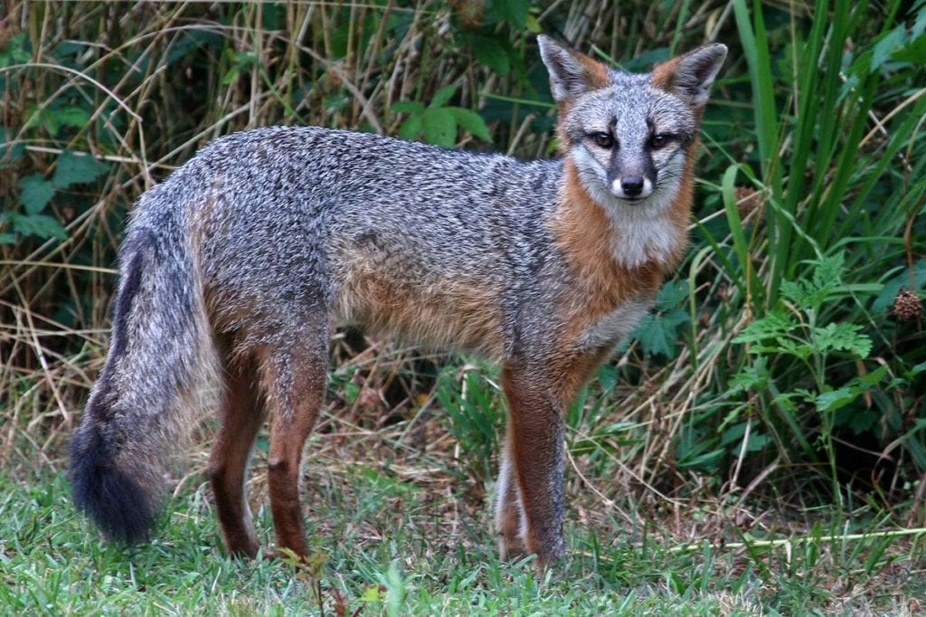 gray-foxes