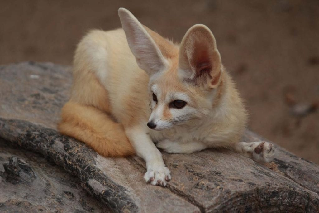 fennec-fox-on-log