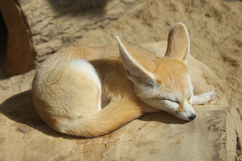 fennec-fox-as-pet