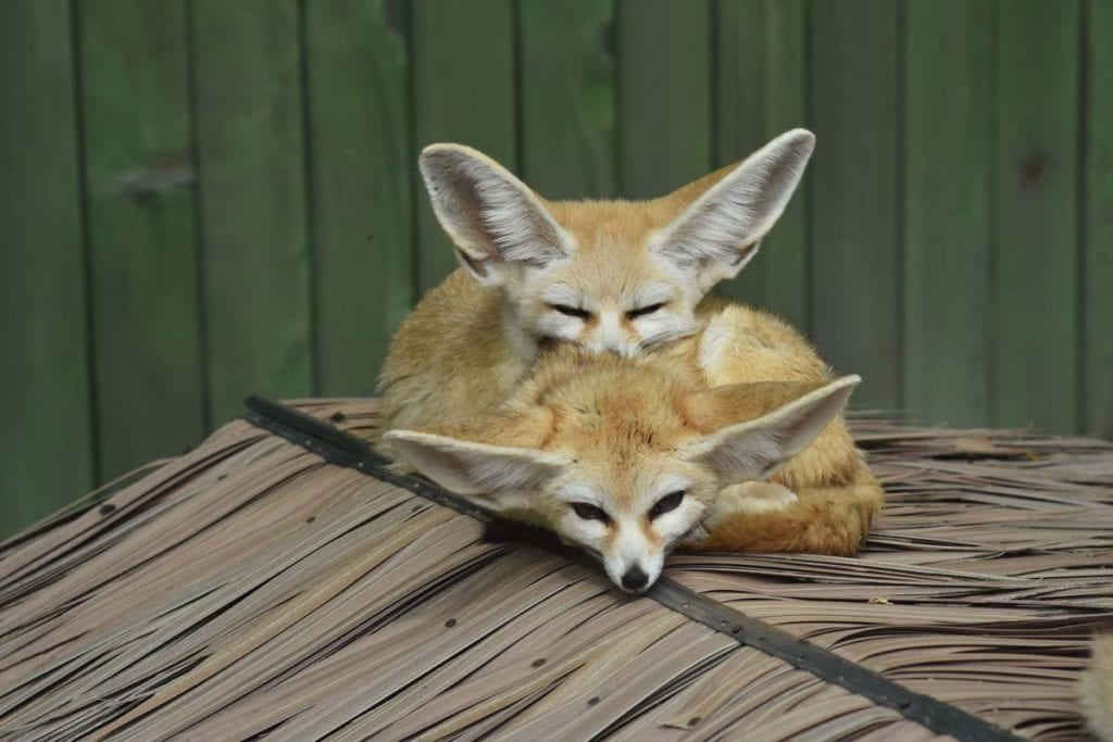 fennec-fox-housing