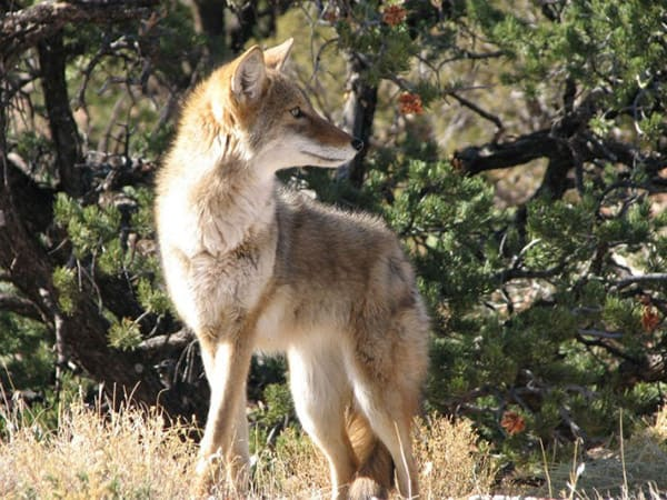 do coyotes eat foxes?