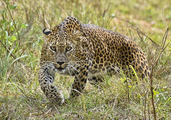 Leopards prey on foxes.