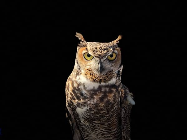 do owls eat foxes?
