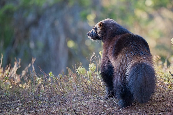what eats foxes? - wolverines do