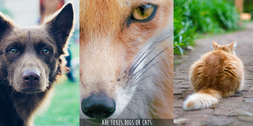 are-foxes-dogs-or-cats