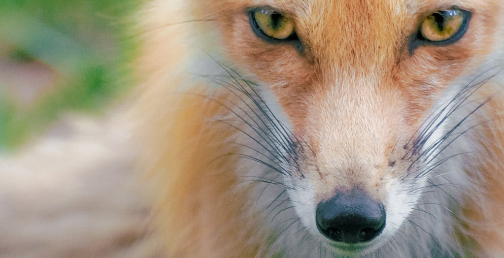 foxes-have-cat-eyes