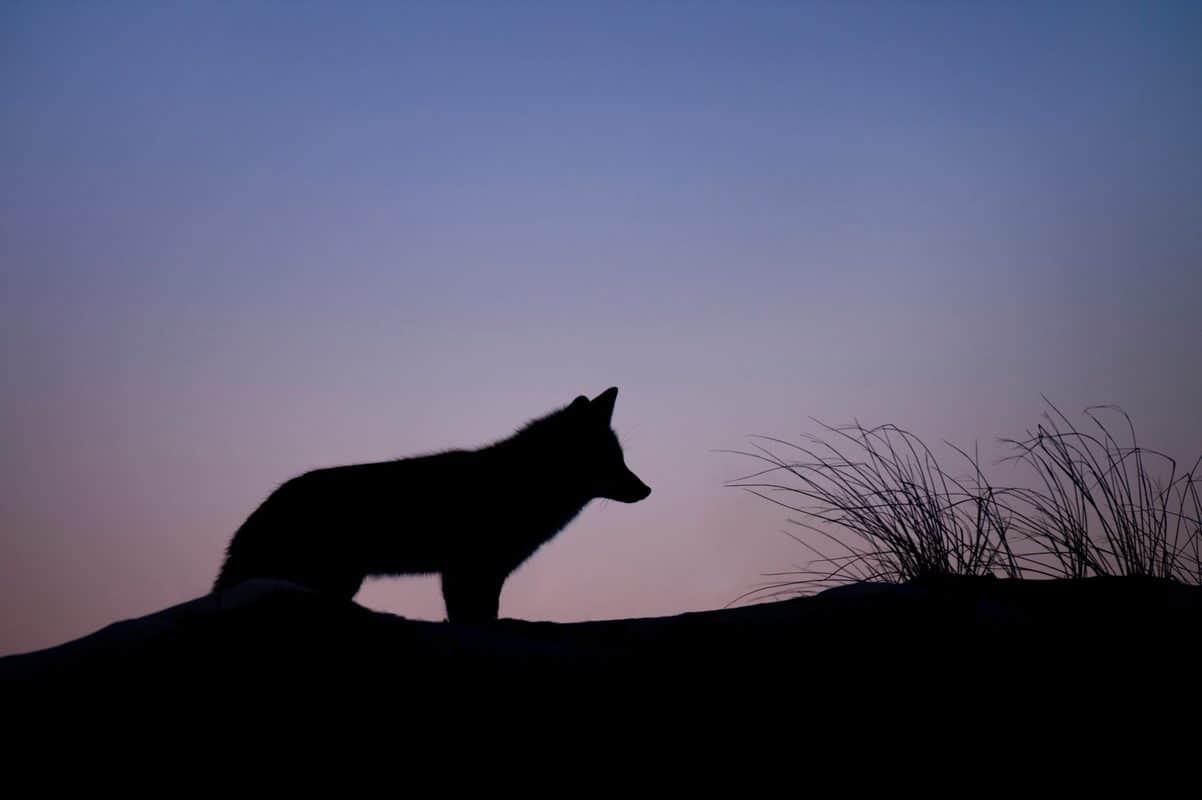 are-foxes-nocturnal?