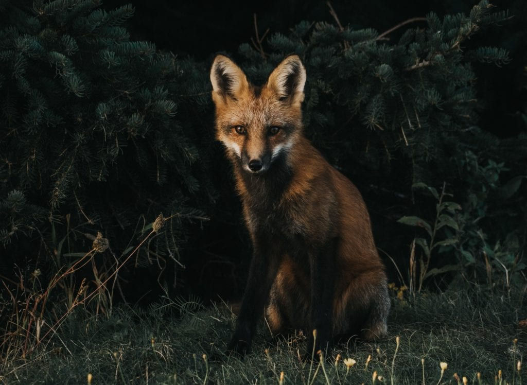 foxes-are-nocturnal