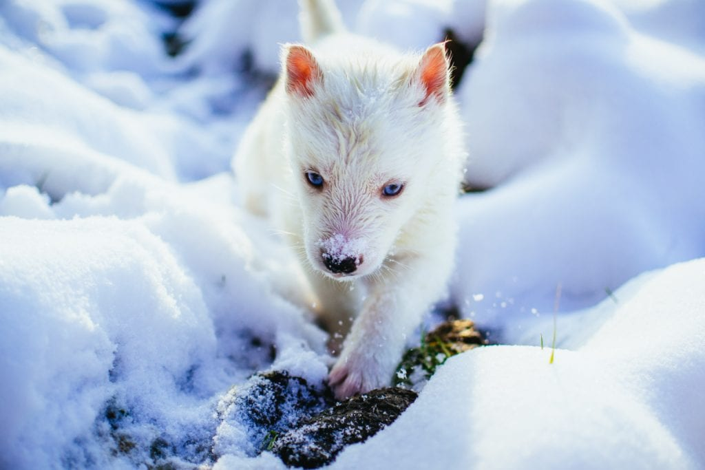 arctic-fox-pup-foxes