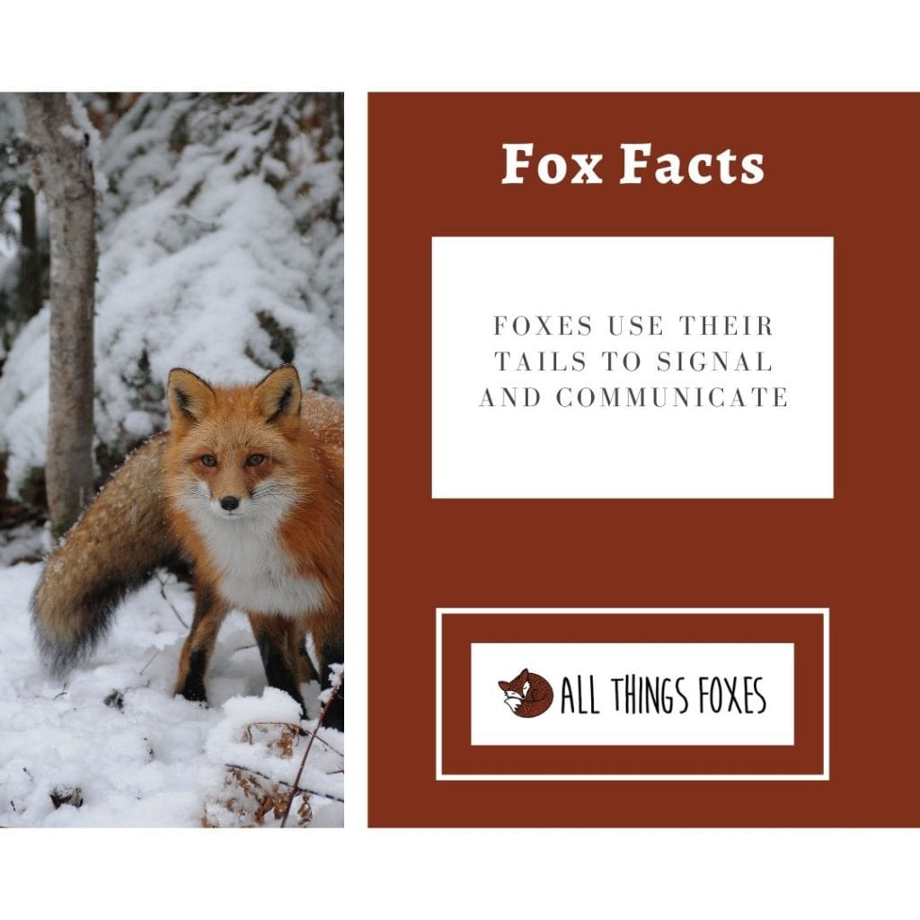 fox-facts-communication-tails