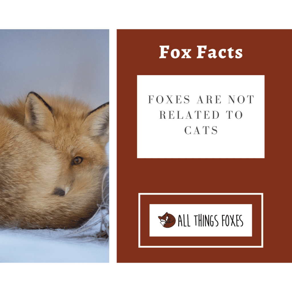 foxes are not related to cats
