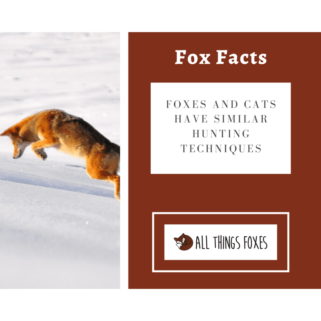 foxes hunt like cats