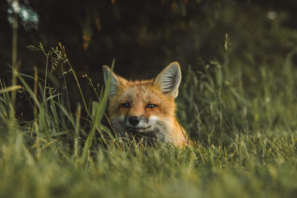 fox-hiding-in-grass