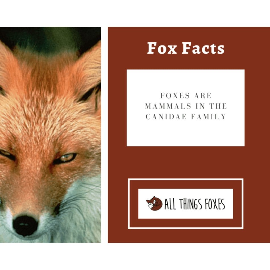 foxes-are-mammals