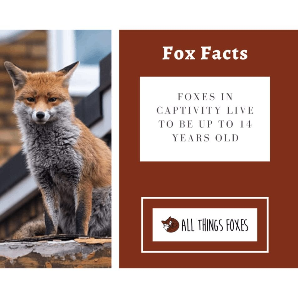 foxes-in-captivity