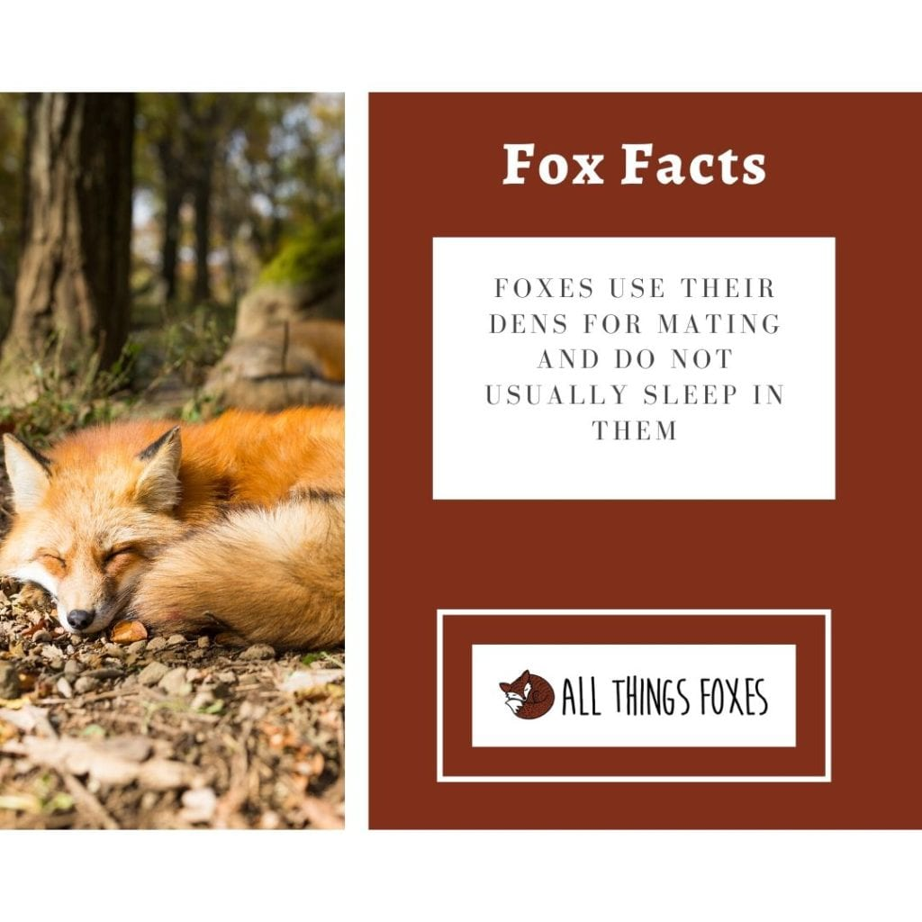foxes-sleeping-fox-facts