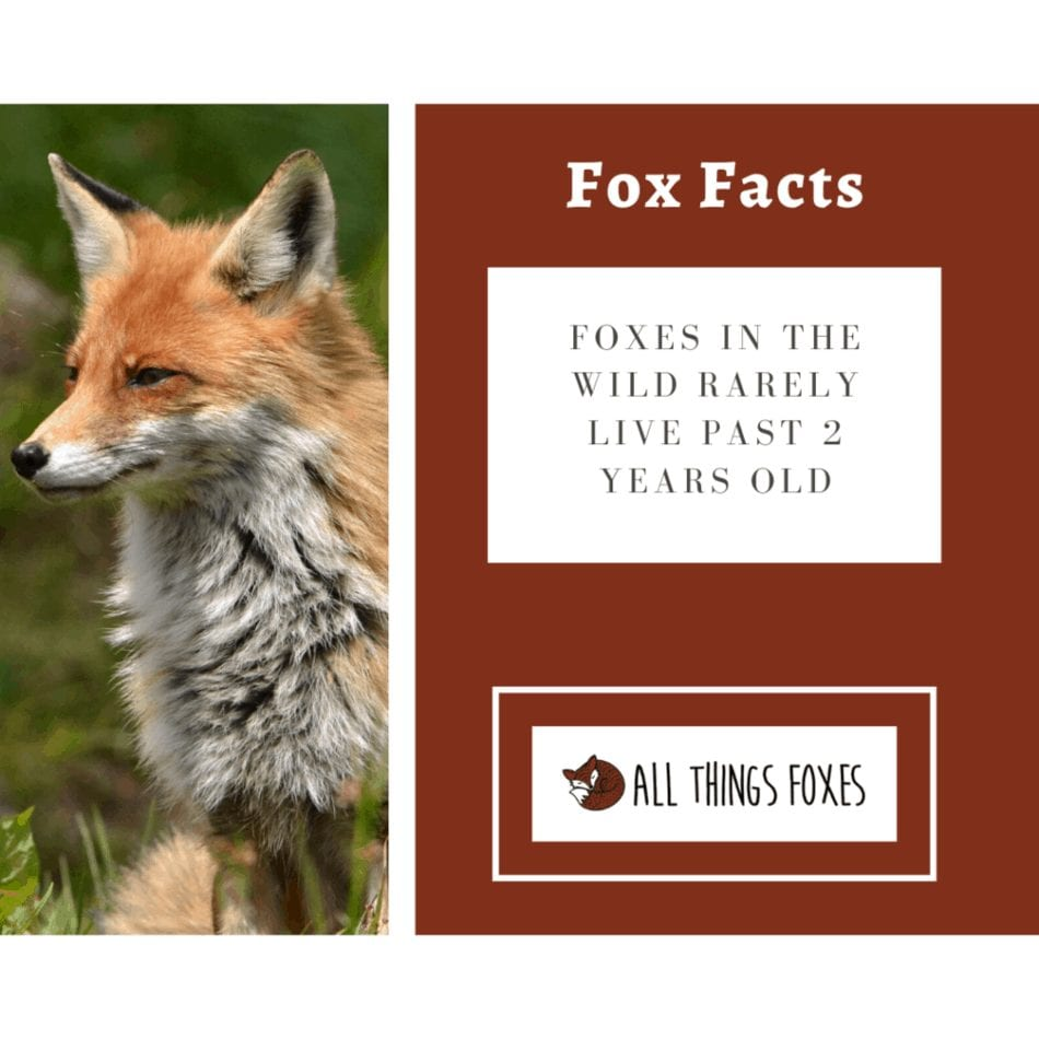 fox fact foxes in the wild don't live past 2 years