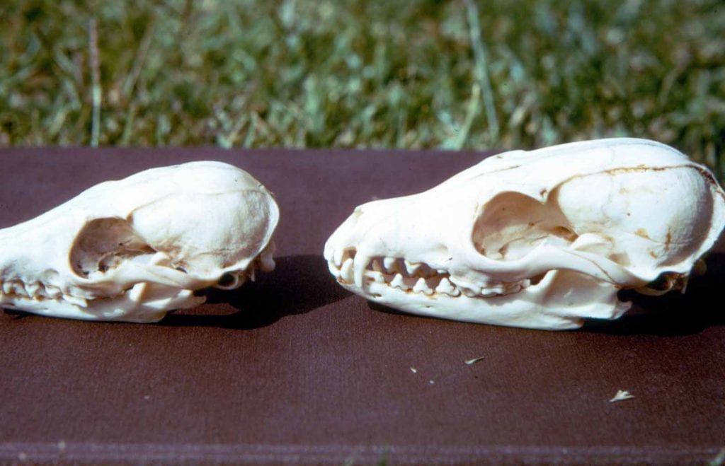 fox-bones-skulls-island-fox-left-gray-fox-right