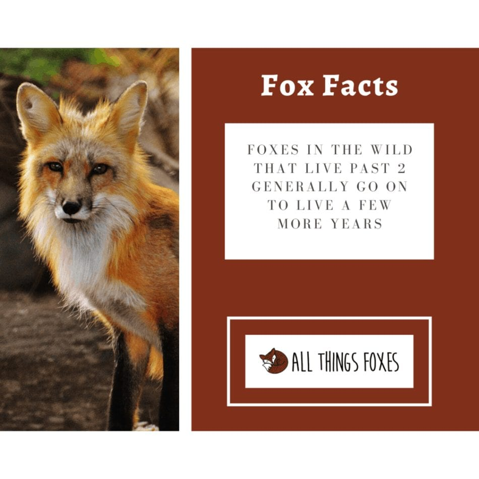 fox facts mature foxes