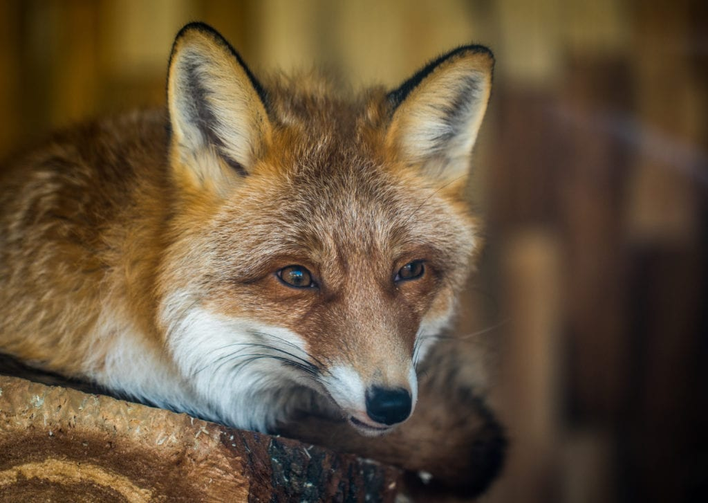 red-fox-face-foxes