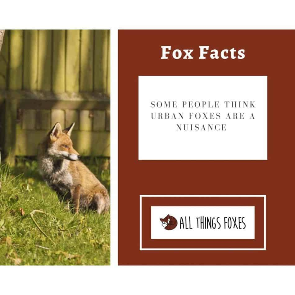 urban-foxes-nuisance
