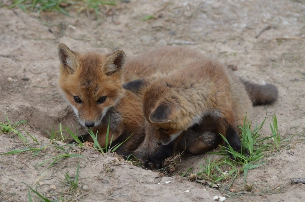 red-foxes-babies