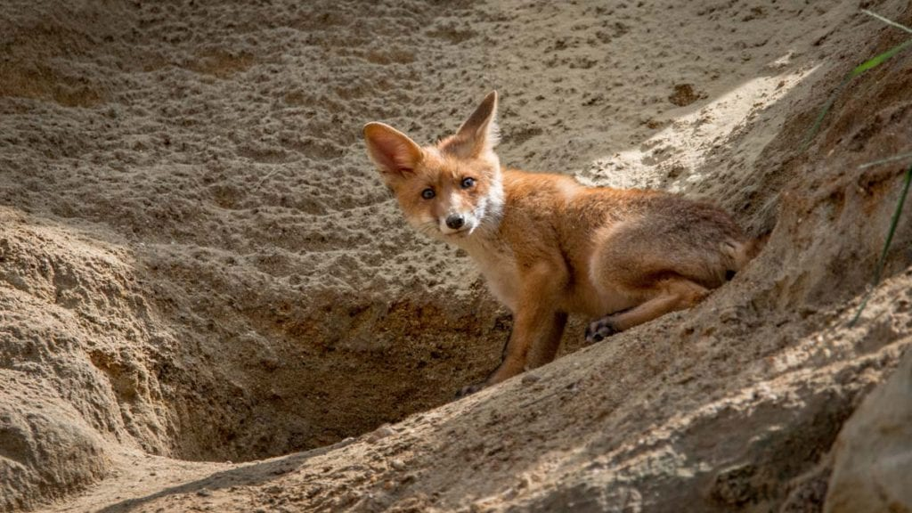 do-foxes-live-in-arabia