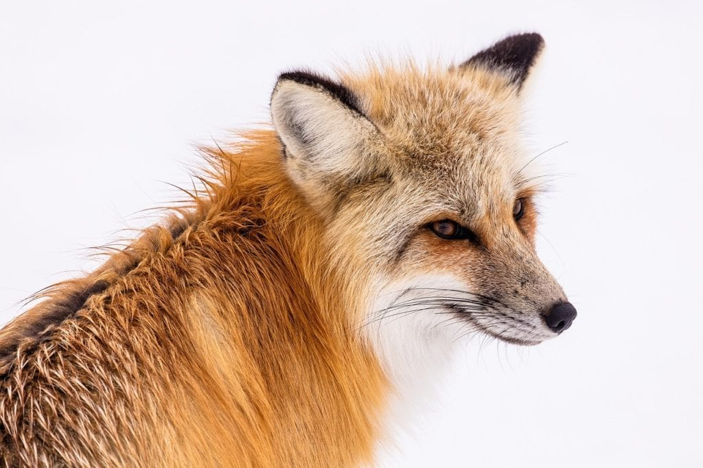 do-foxes-live-in-russia