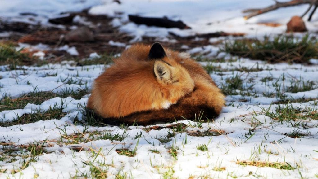 how-red-foxes-survive