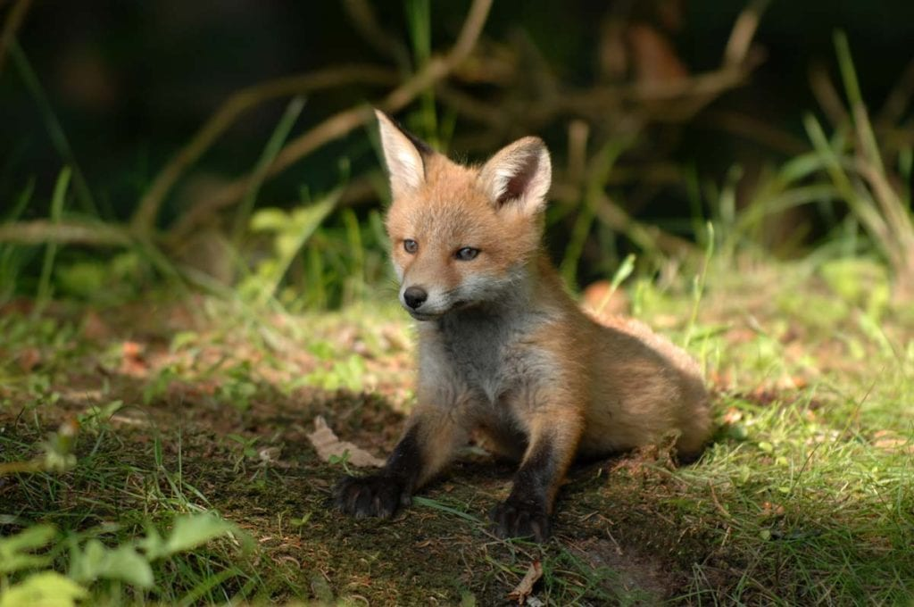 red-fox-babies-mating