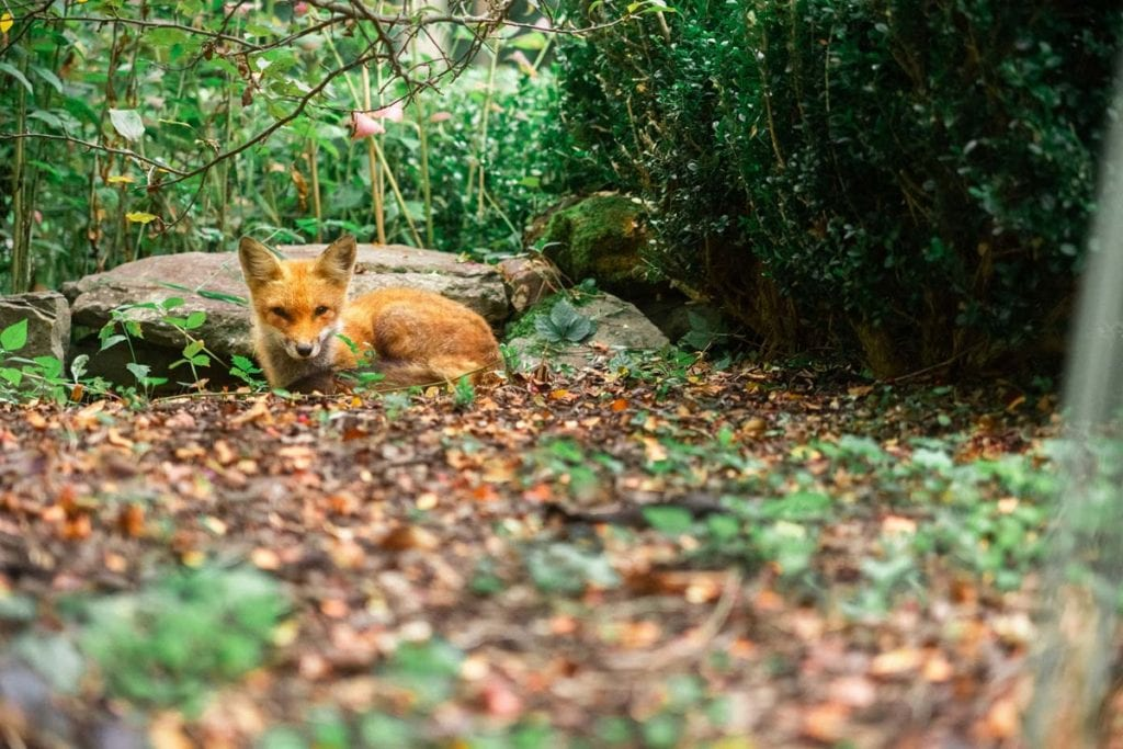 red-fox-babies-facts