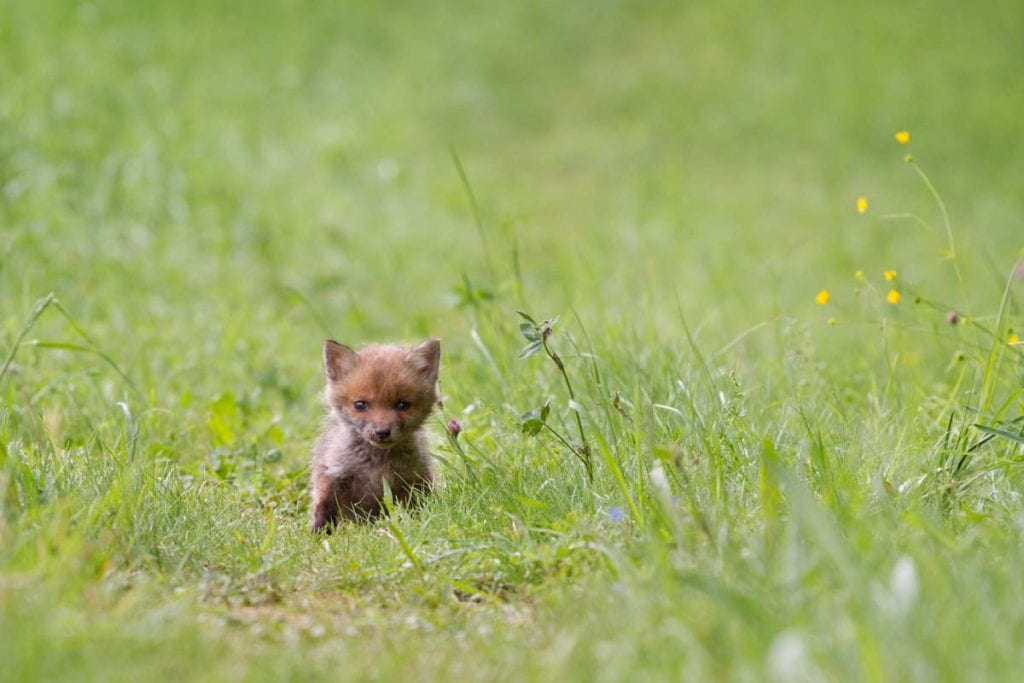 when-do-fox-cubs-leave-the-den