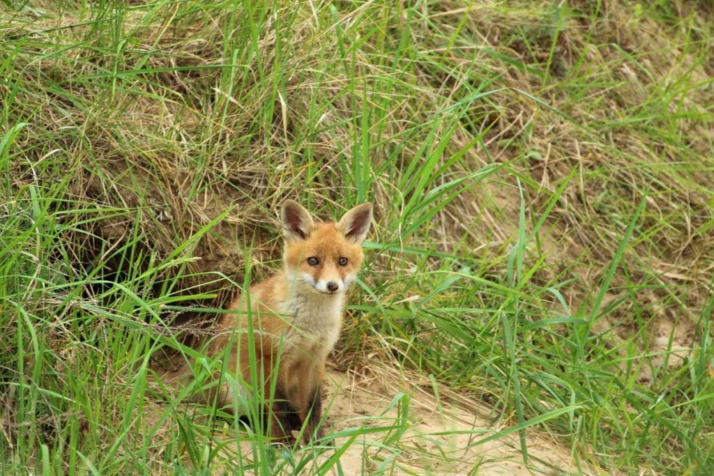 do-foxes-live-in-africa