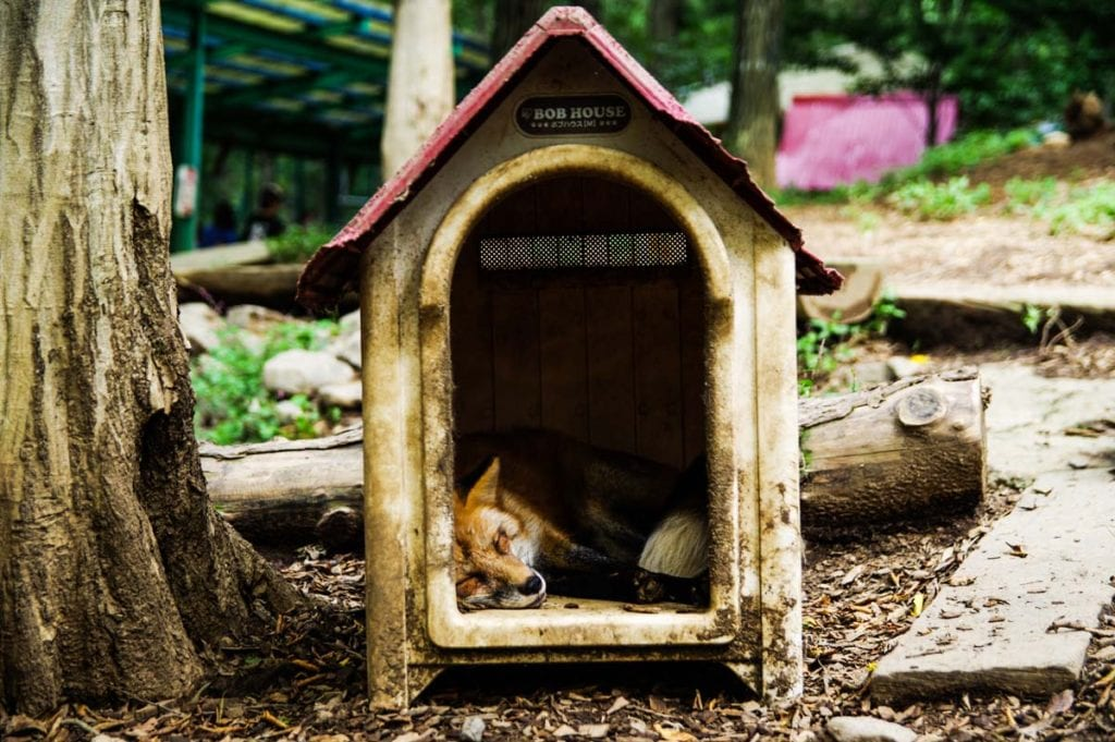 can-you-have-a-pet-fox