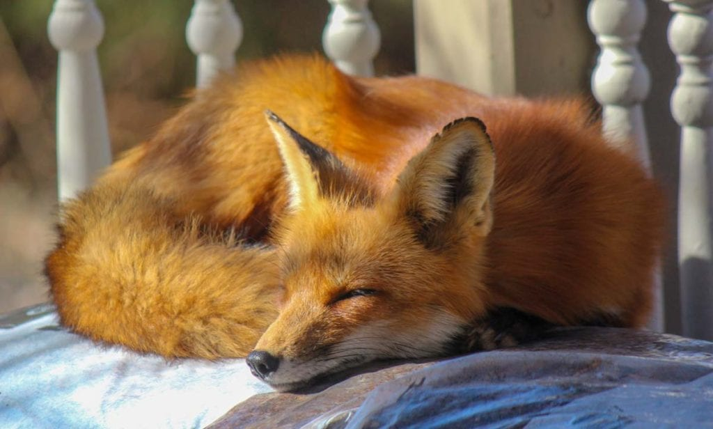 where-can-you-get-a-pet-fox