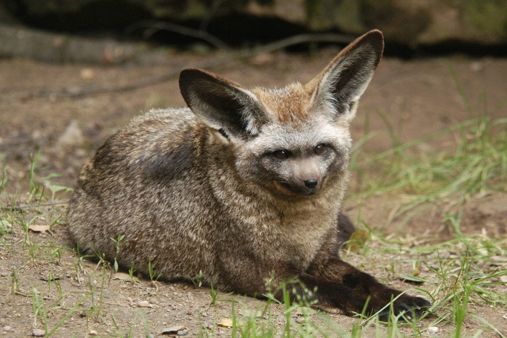bat-eared-fox-color