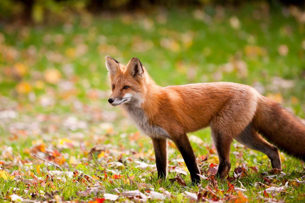 red-fox-colors