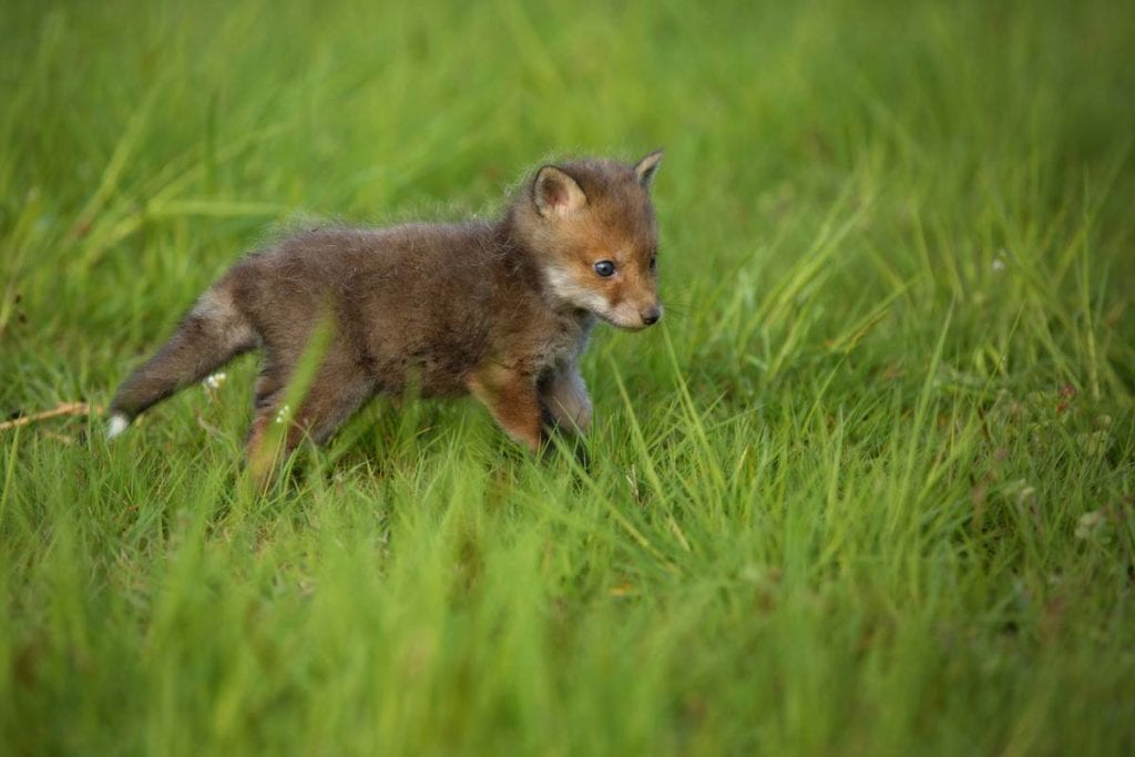 red-fox-kit