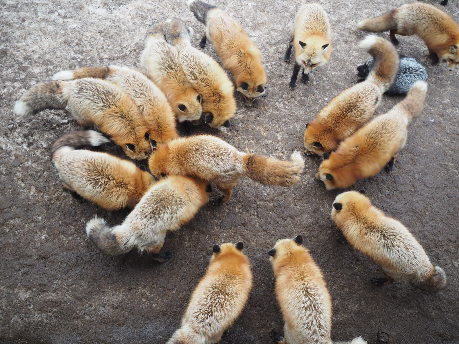 types-of-foxes