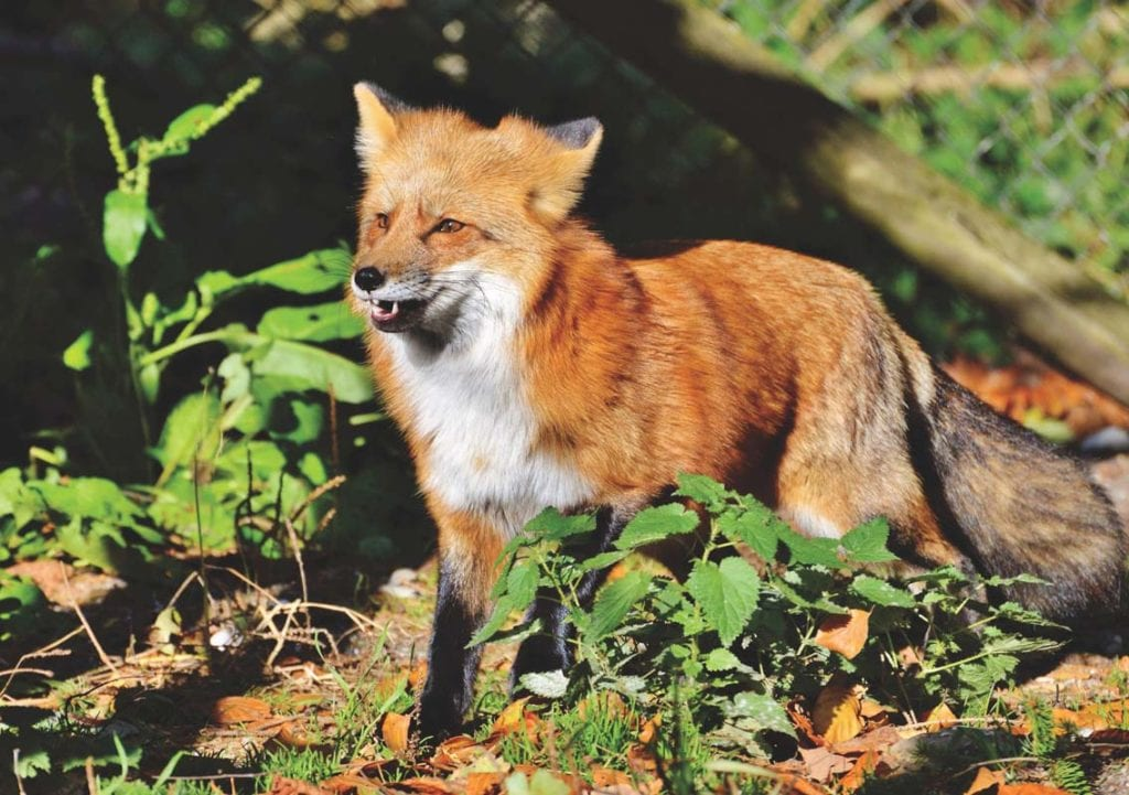 red-fox-smiling