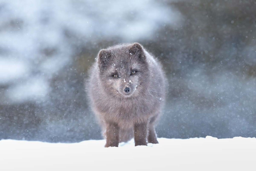 are-arctic-foxes-endangered