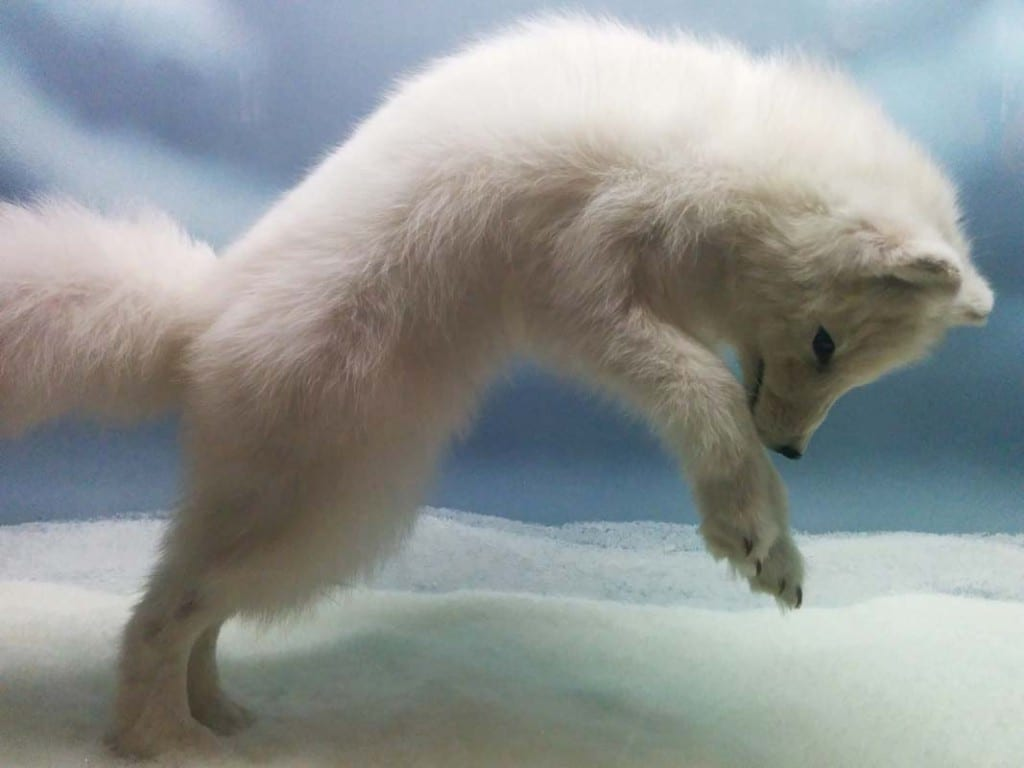 what-do-arctic-foxes-eat