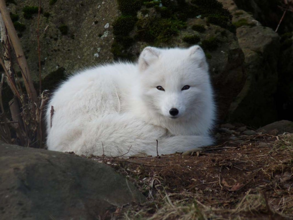 how-long-do-arctic-foxes-live