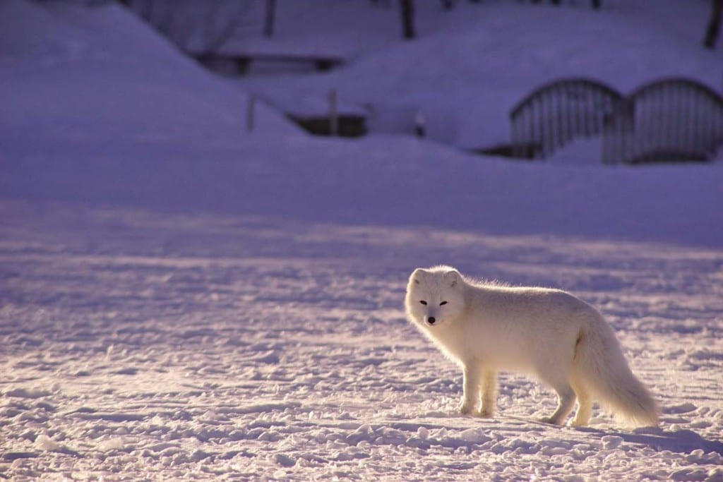 arctic-foxes-tail