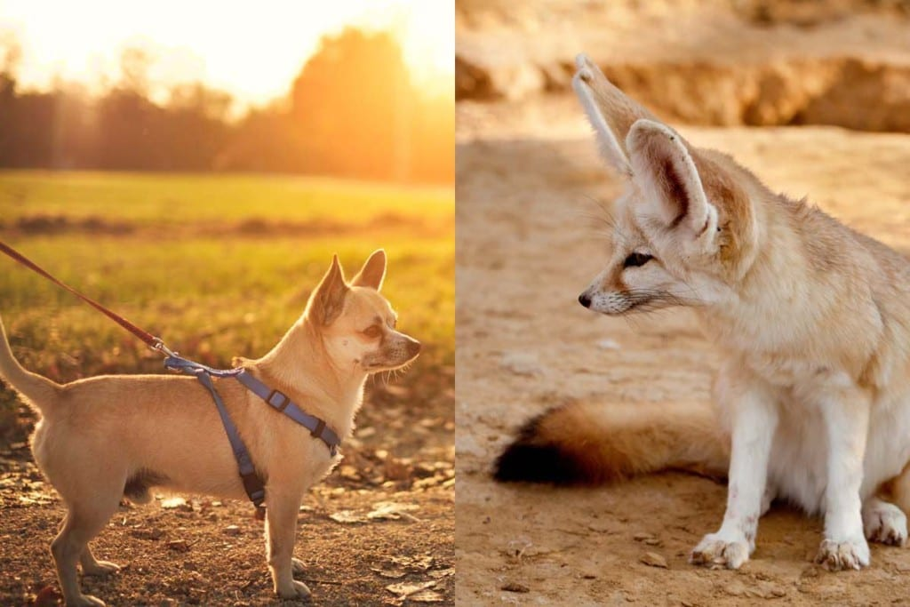 can-Chihuahuas-breed-with-fennec-foxes