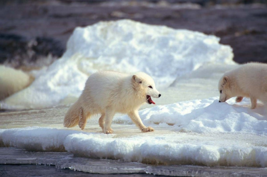 do-arctic-foxes-live-in-packs