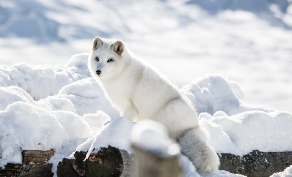 where-does-the-arctic-fox-live