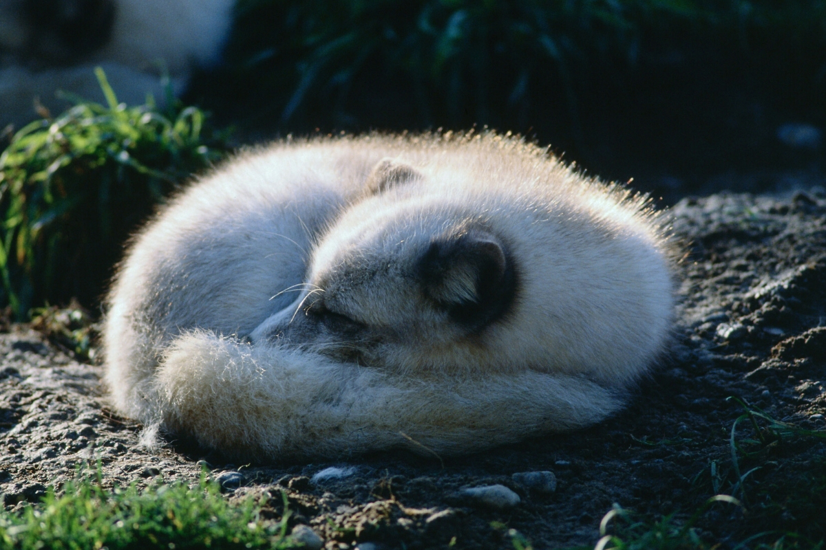 arctic-fox-sleeping-habits