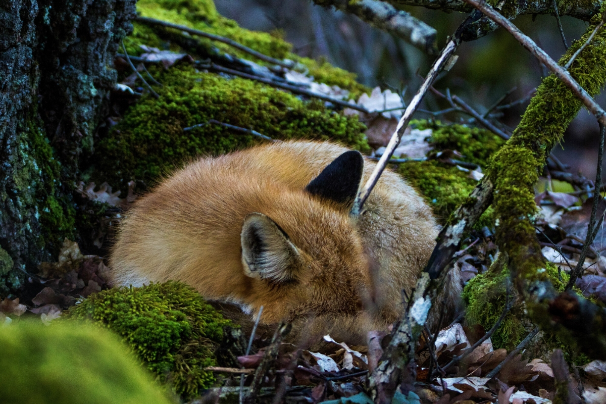 fox-sleeping-habits