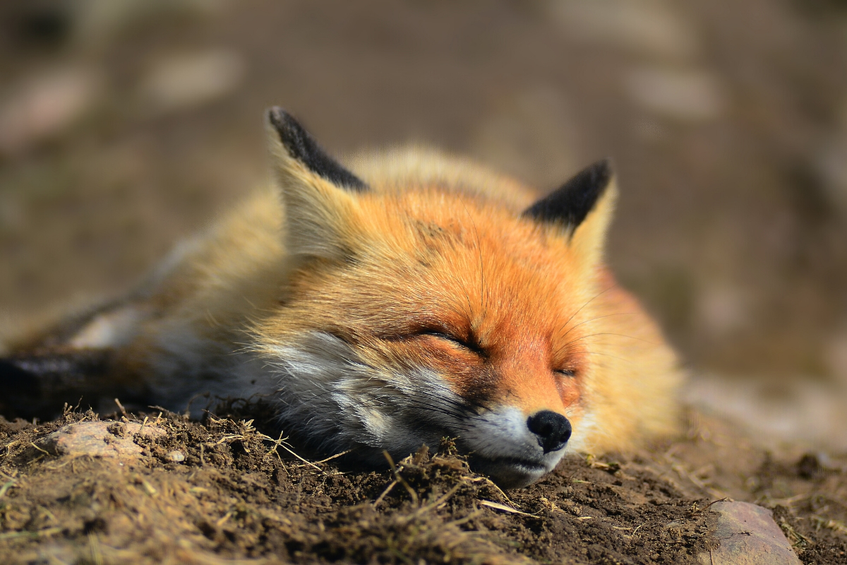 fox-sleeping-in-garden